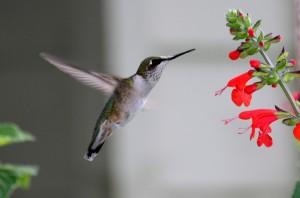 Colibri et Salvia coccinea Robert Morin_6047 2011-09-02 16-15-55