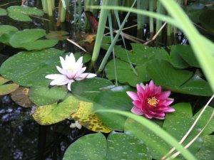 Fleurs étang_n-1
