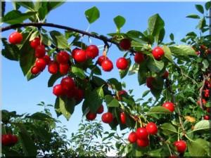arbre à fruits