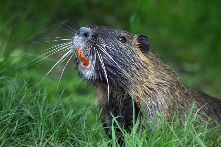 beaver-493798_1920