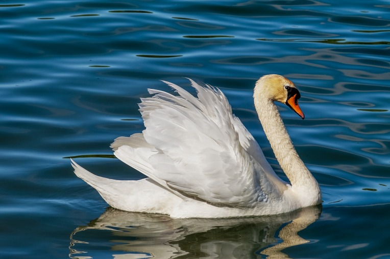 swan-3376622_1920
