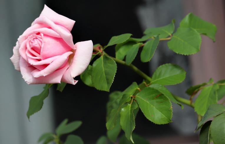 rose-4206639_1920