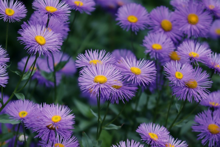 early-in-the-summer-asters-4282887_1920