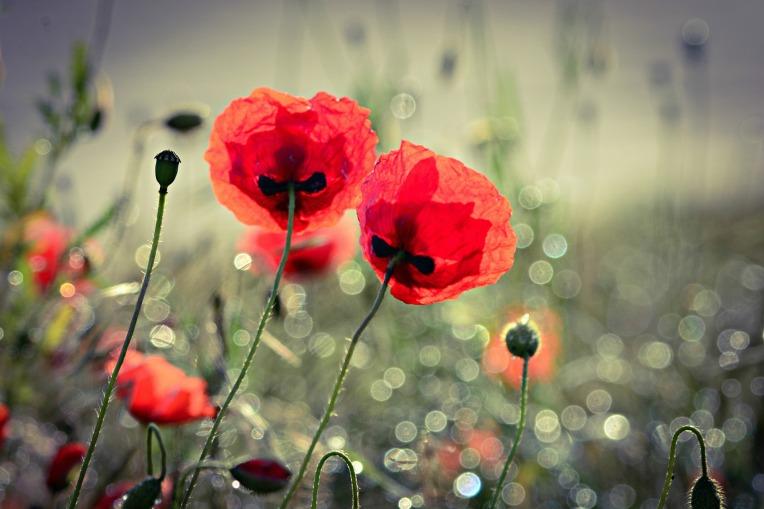 poppy-4243860_1920
