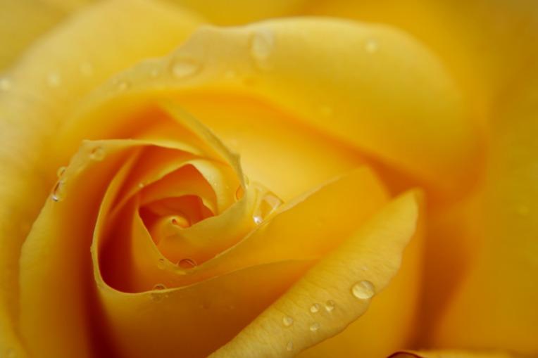 yellow-rose-4251915_1920